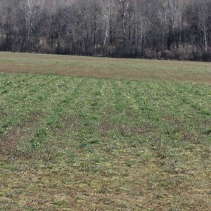 Ground Broadcast Oats/Clover/Radish Mix (Picture taken 1/26/15)