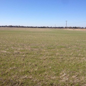 Aerially Seeded Charlotte Mix prior to soybean harvest, no-till (Picture taken 11/19/14)