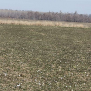 Aerially Seeded Wheat (Picture taken 1/19/15)