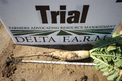 60 days growth on Tillage Radish planted October 1, 2014 in Bolivar County, MS. While the tap root is broken off in this picture, a soil pit revealed tap root growth to approximately 36 inches.